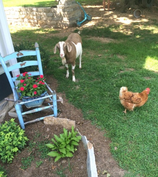goats and chickens